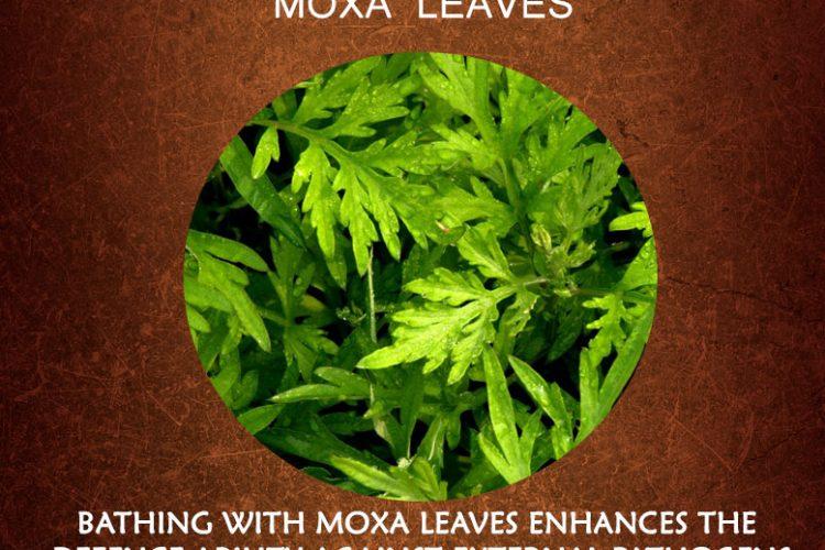 Moxa Leaves